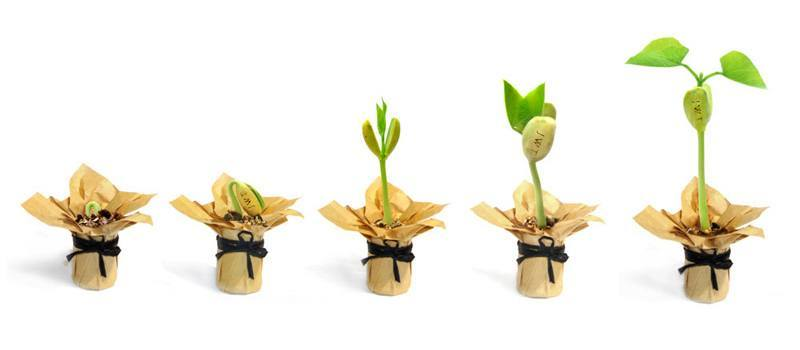 фази на развитие на вълшебни бобени зърна